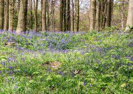 Bluebells landscape